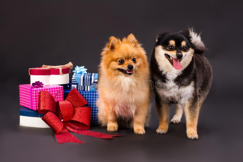 Beautiful German Spitz Canine Adorable Dog - adorable-pomeranian-dogs-gift-boxes-two-different-colors-spitz-heap-gift-boxes-red-bow-studio-portrait-new-year-105605822  Snapshot_418812  .jpg