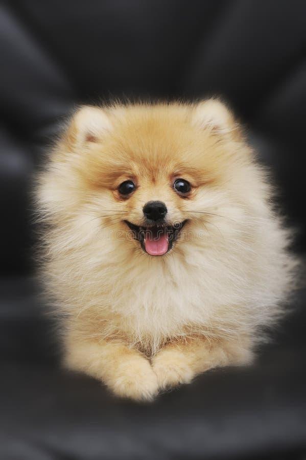 Adorable pomeranian puppy royalty free stock photography