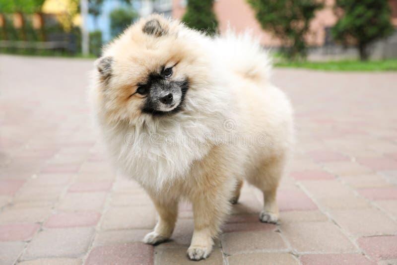 Adorable Pomeranian spitz dog on sidewalk stock image