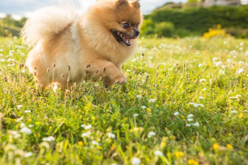 Adorable Pomeranian Spitz in flowers. Backlight. Roamntic mood beautiful pet stock photos