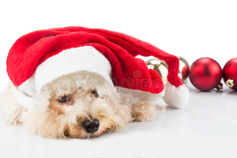 Adorable poodle dog in santa costume posing with Christmas ornam stock image