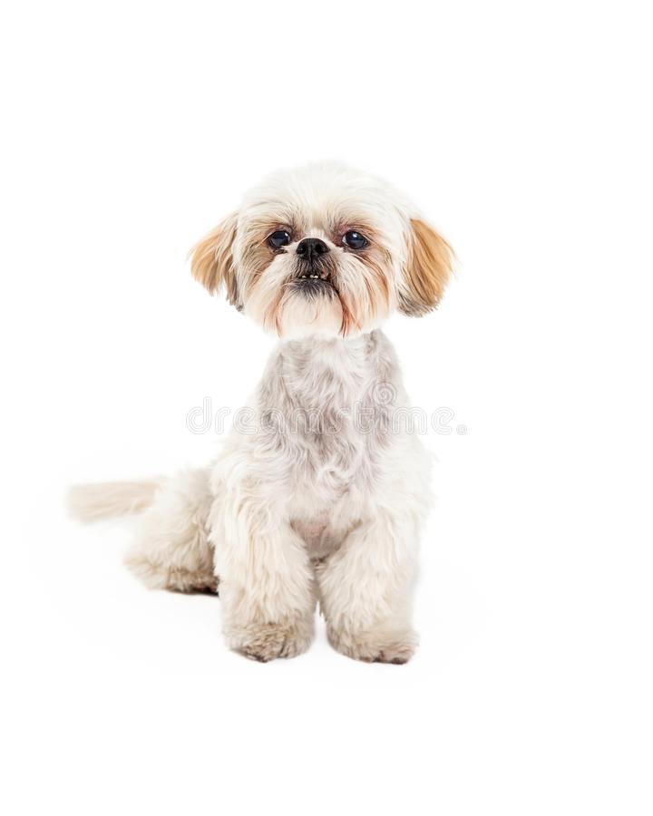 Adorable Poodle and Maltese Mix Breed Dog Sitting royalty free stock photos