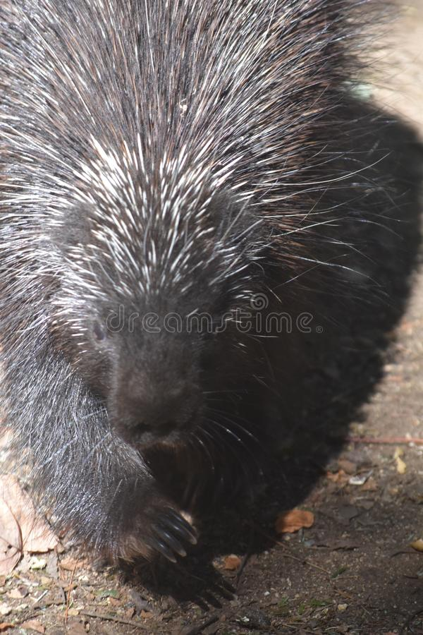 North american porcupine with black and white quills. Adorable porcupine with black and white quills stock photos
