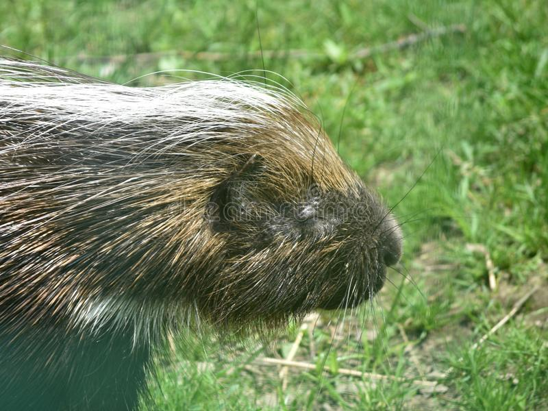 Adorable porcupine closing its eyes and enjoying the sunlight. Cute big porcupine enjoying the sunlight in a field stock photography