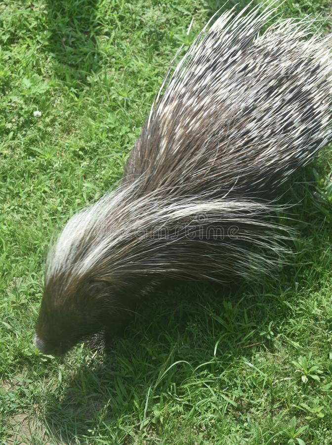 Cute porcupine with its quills bent to the side. Adorable porcupine with some quills bent to one side stock images