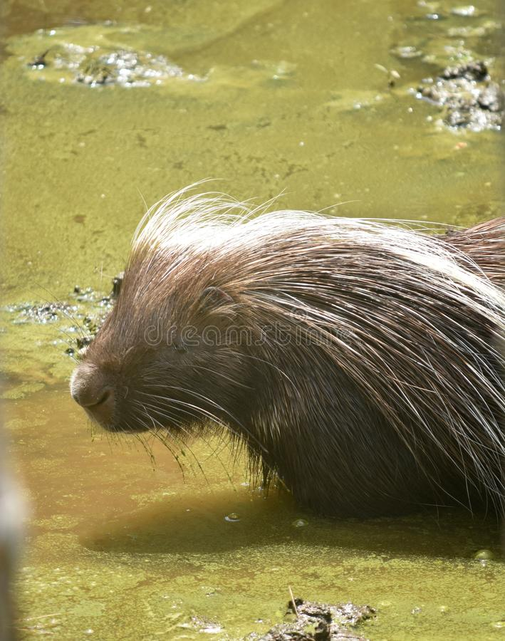 North american porcupine standing in brown water. Adorable porcupine standing in light brown water stock photography