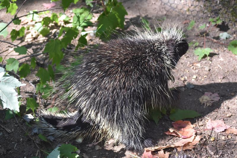 Adorable porcupine walking around with its head up stock image