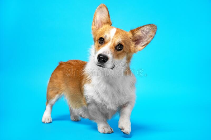 Adorable portrait of amazing healthy and happy corgi dog in the photo studio on the blue background.  stock photos