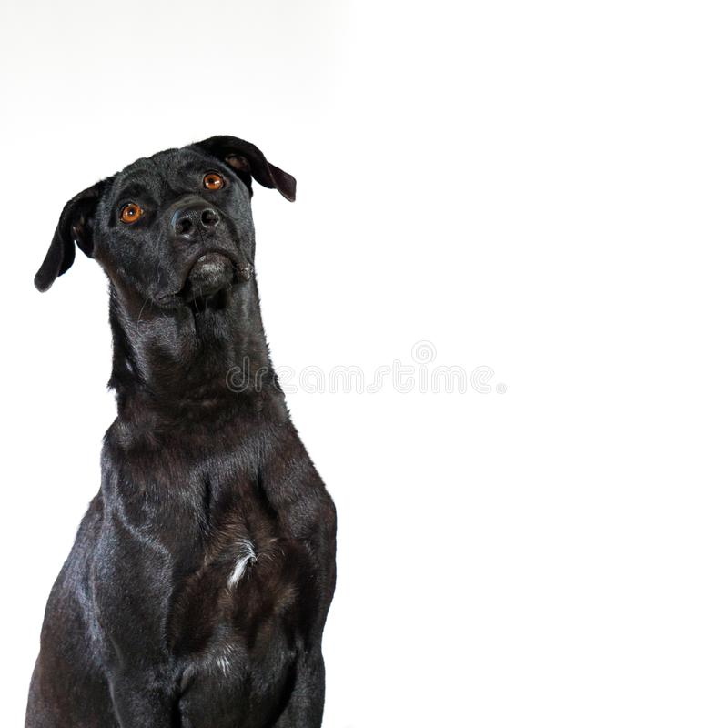 Adorable portrait of Black Dog looking something on top isolated on white background, front view. Adorable portrait of Black Dog looking something on top royalty free stock images