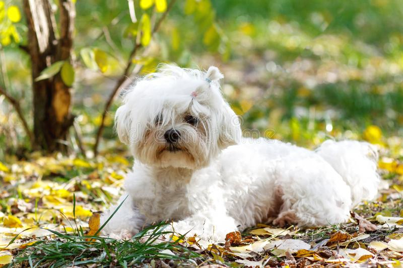 An adorable portrait of a havanese maltese puppy lying down on g stock images