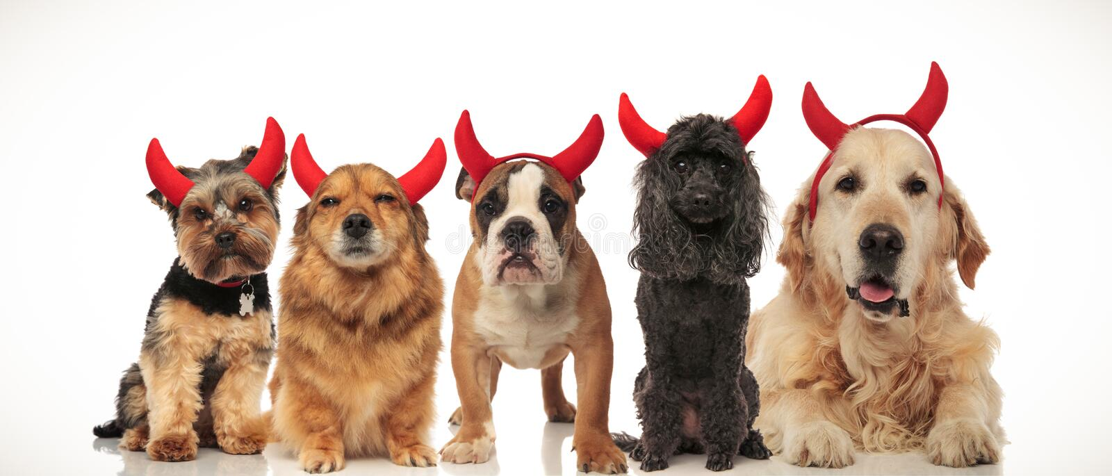 5 adorable puppies dressed as devils for halloween royalty free stock photos