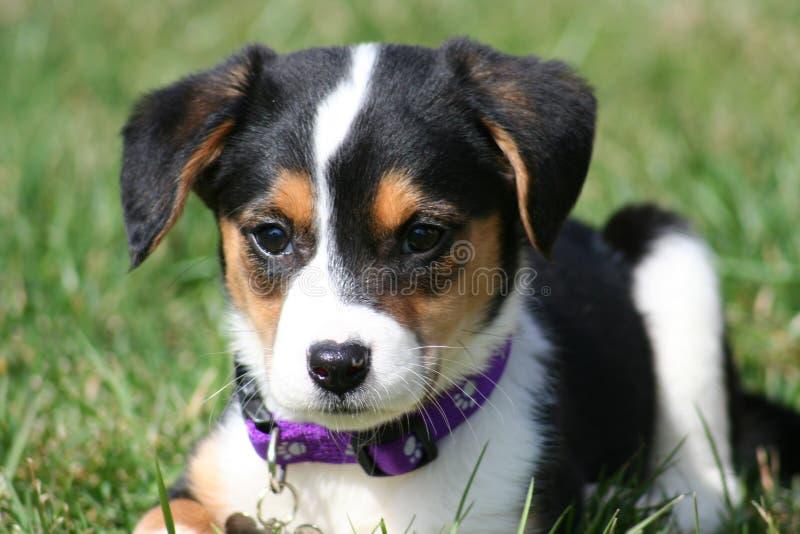 Download Adorable Puppy stock image. Image of german, grass, shepherd - 2168825
