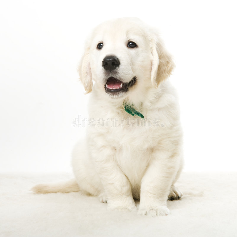 Adorable puppy royalty free stock images