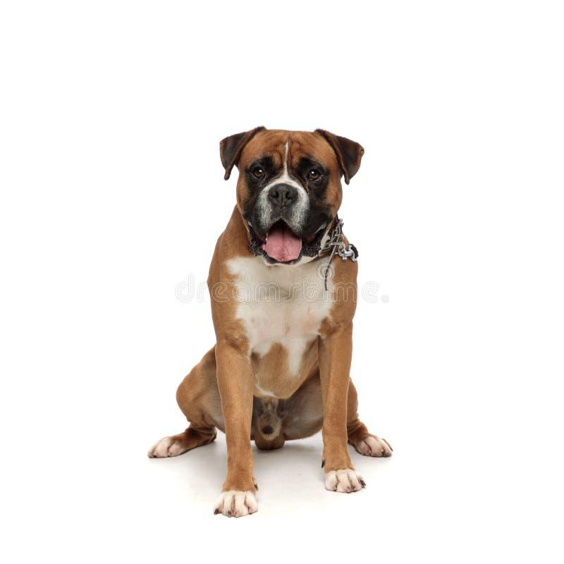 Adorable puppy panting royalty free stock photos