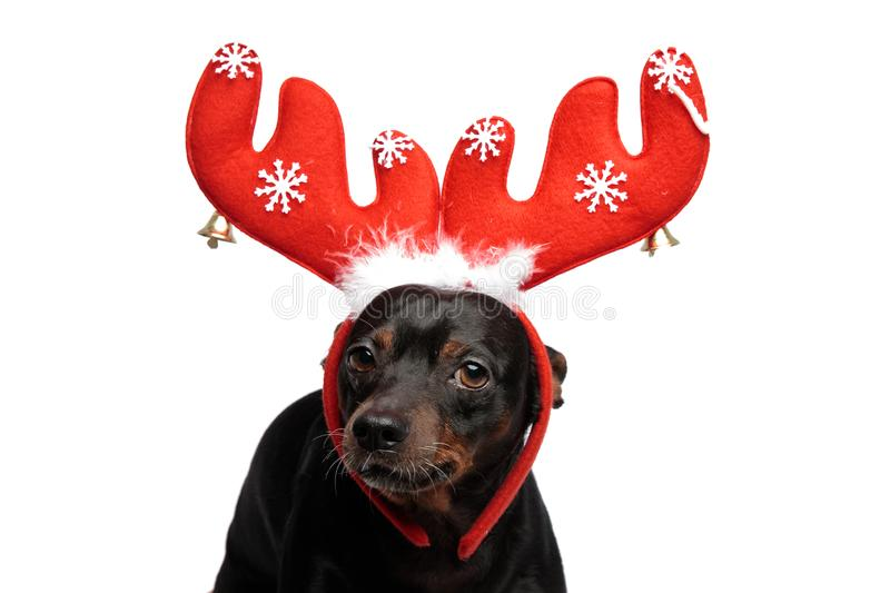 Adorable puppy standing, wearing a pair of reindeer horns. Looking at the camera on white background royalty free stock images