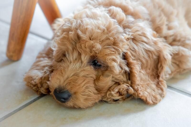 Adorable purebred mini poodle puppy seen laying on cool kitchen tiles while relaxing after exercise. royalty free stock image