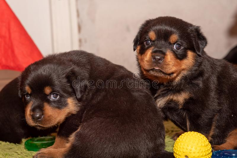 Purebred Rottweiler puppy, posing, one months old. stock photo