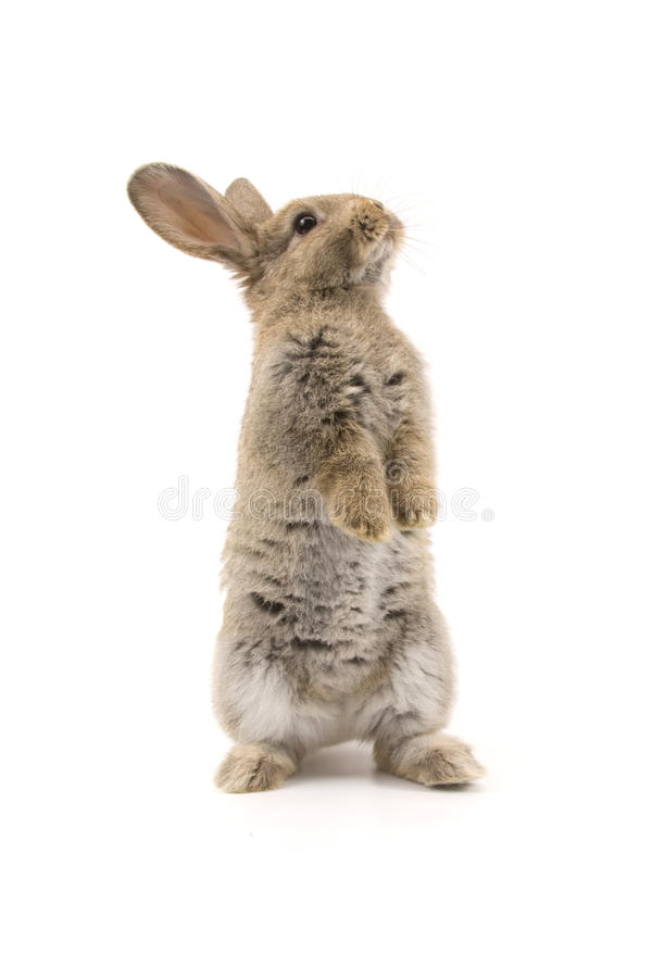 Adorable rabbit isolated on white stock photography
