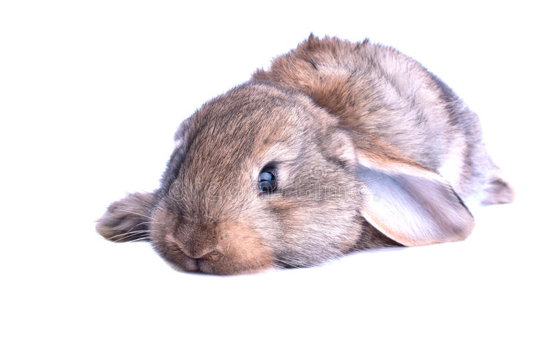 Adorable rabbit isolated royalty free stock photography