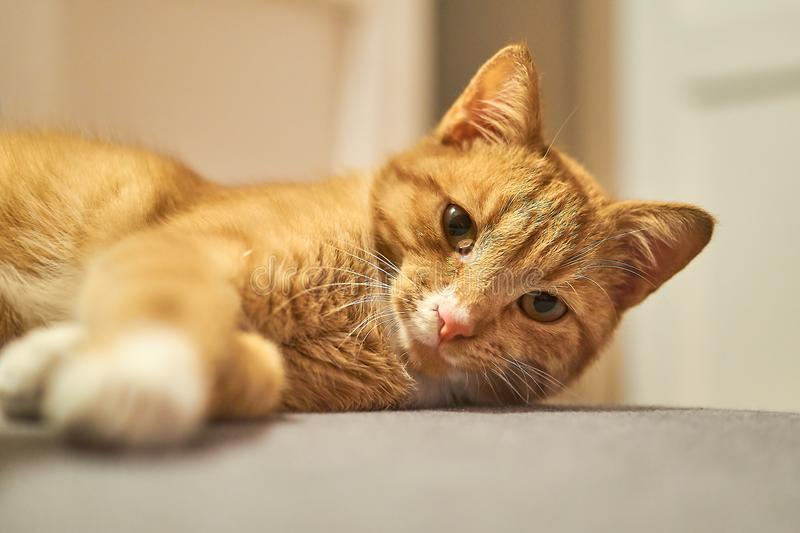 Adorable red cat royalty free stock photo
