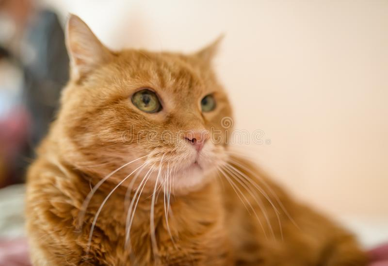Adorable red cat. Selective focus stock photo