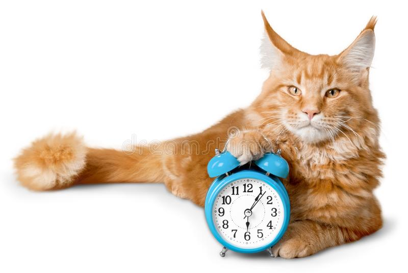 Adorable red cat with clock isolated on white royalty free stock photography