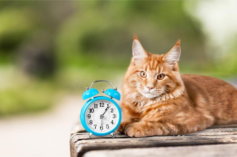 Adorable red cat with clock on table stock image