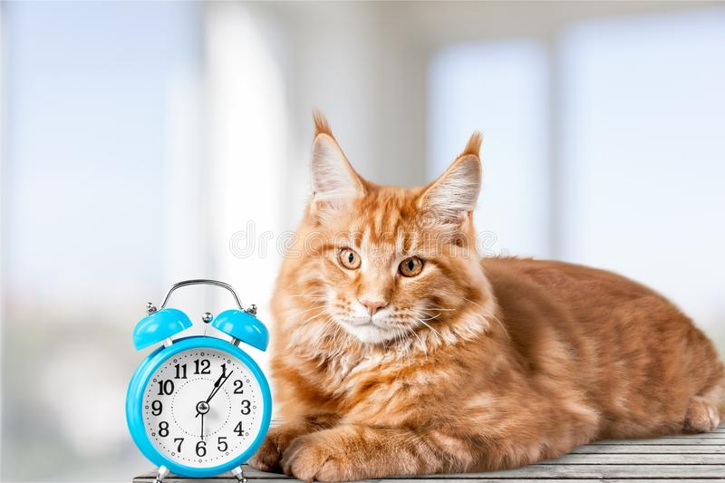 Adorable red cat with clock on table stock photos