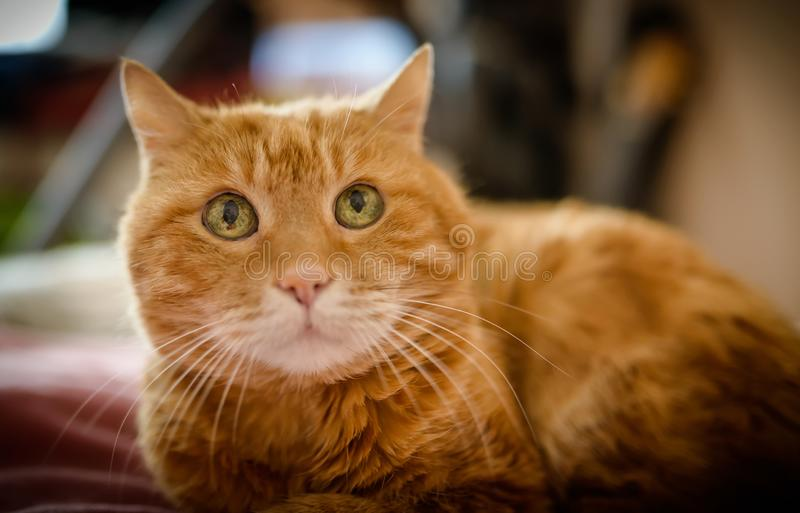 Adorable red cat. Selective focus royalty free stock images