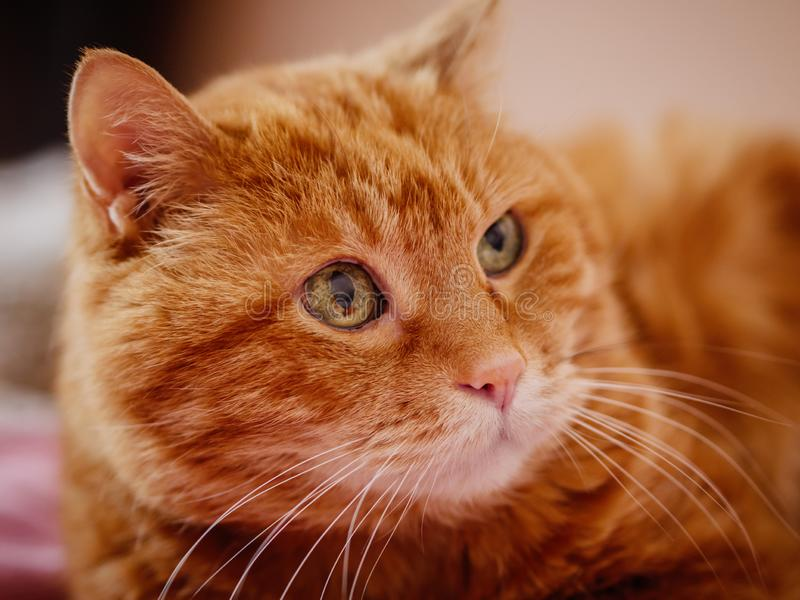 Adorable red cat. royalty free stock photo
