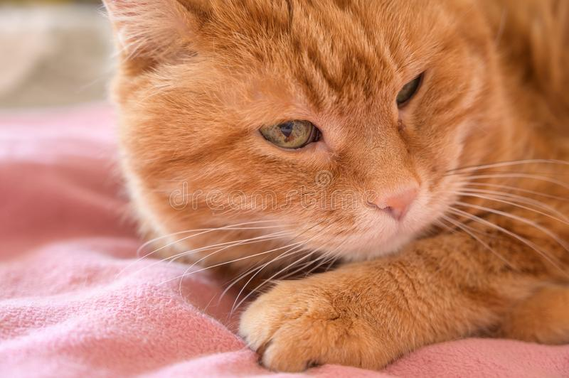 Adorable red cat. Selective focus on nose royalty free stock images
