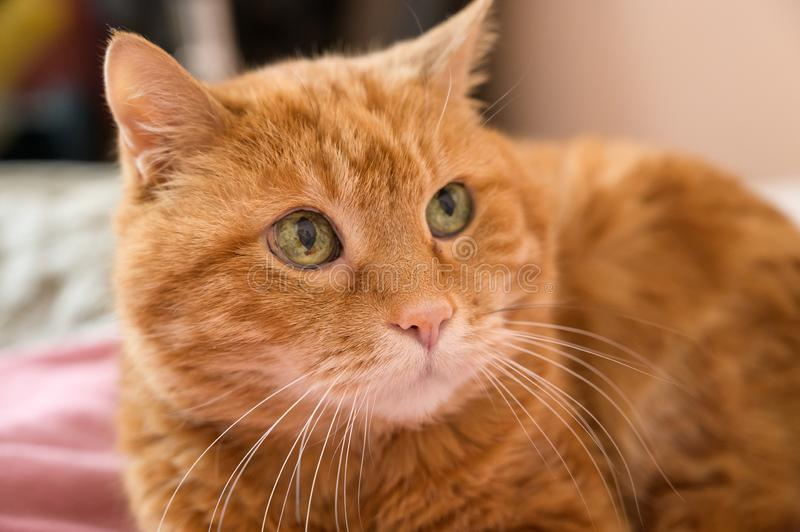 Adorable red cat. Selective focus on nose stock images
