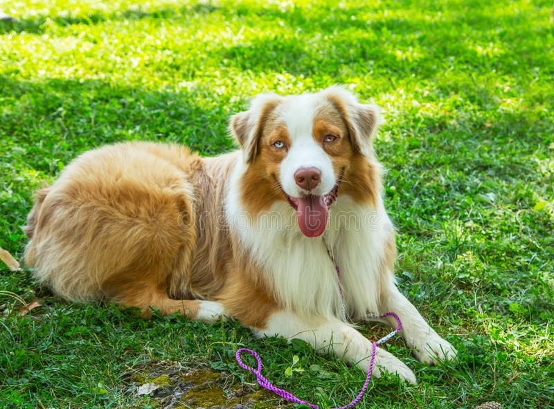 Adorable red merle blue eyes aussie Australian shepherd puppy dog lying in grass outside. royalty free stock image