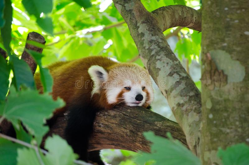 Adorable Red panda Ailurus fulgens, also called the lesser panda, the red bear-cat sleeping on the tree. An Adorable Red panda Ailurus fulgens, also called the royalty free stock photography
