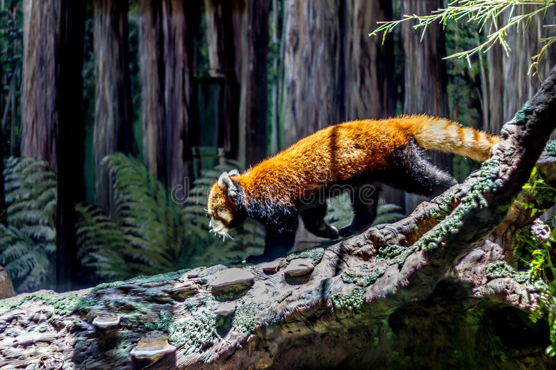 An Adorable Red Panda (Ailurus fulgens). An Adorable Red Panda (Ailurus fulgens) Crossing on a Tree Trunk royalty free stock photography
