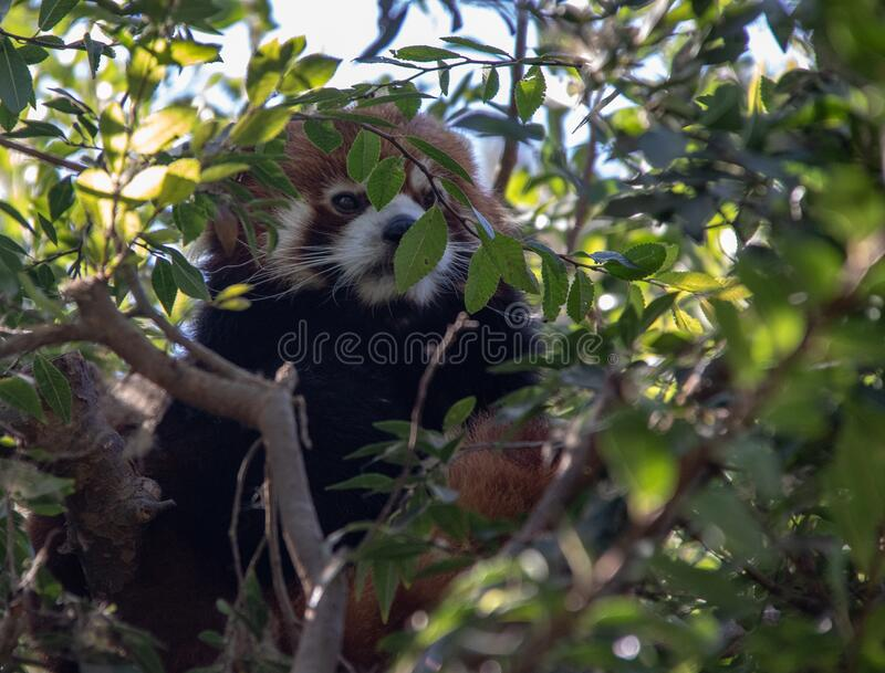 The Adorable Red Panda. A cute Red Panda Bear at the San Diego Zoo in San Diego, California stock photo