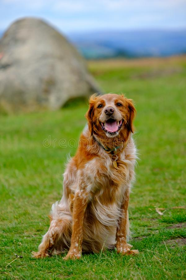 An adorable retriever dog poses on the hills of Lyme Park in the Peak District, Cheshire, UK. An adorable retriever dog poses on the hills of Lyme Park in the royalty free stock photography