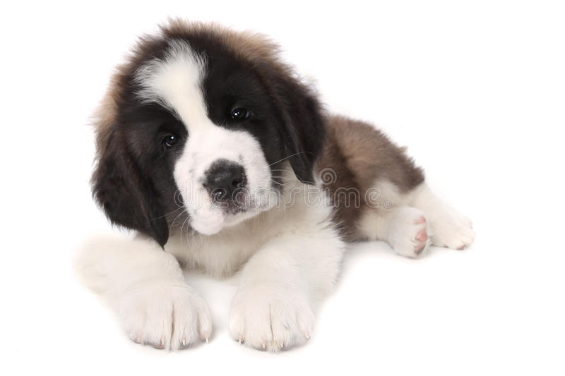 Adorable Saint Bernard Puppy Lying Down Royalty Free Stock Photography