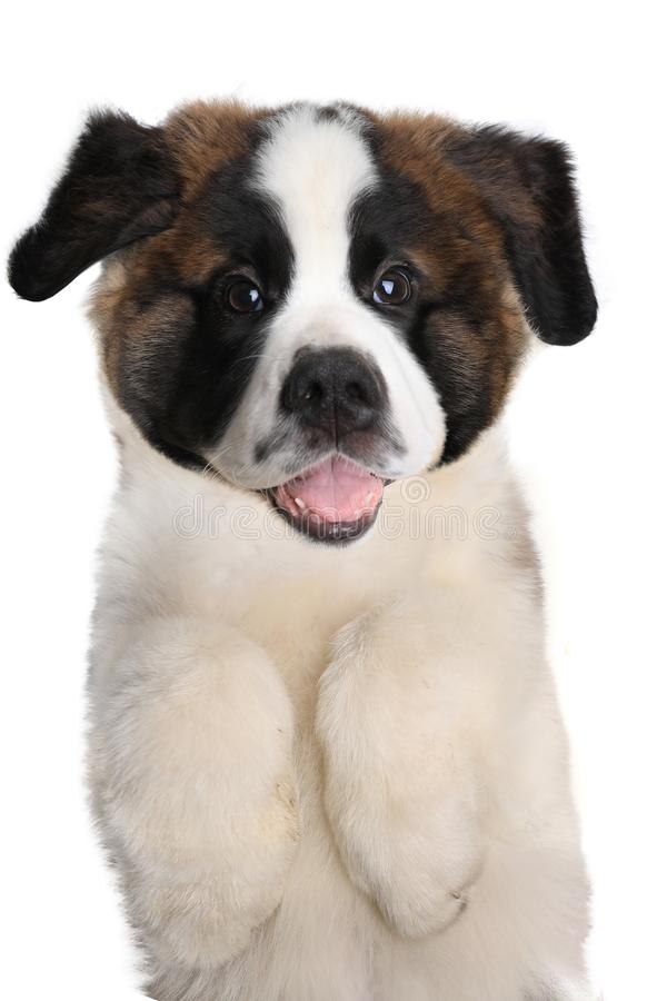 Saint Bernard Puppy With Sweet Expression. Adorable Saint Bernard Puppy With Sweet Expression stock photography