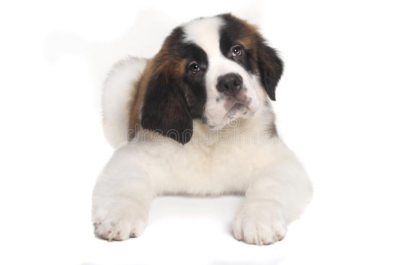 Saint Bernard Puppy With Sweet Expression. Adorable Saint Bernard Puppy With Sweet Expression royalty free stock photos