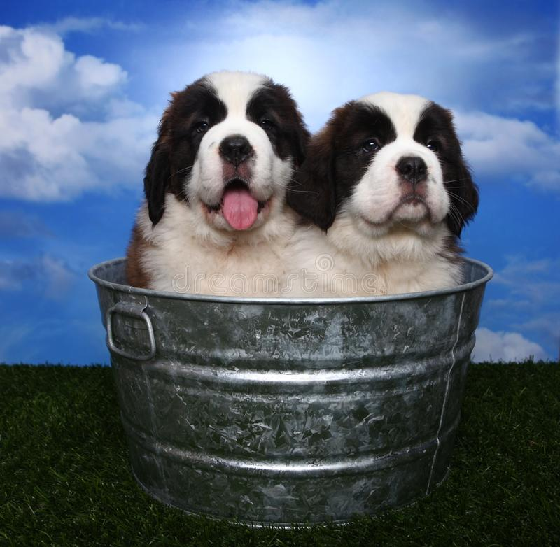 Download Adorable Saint Bernard Pups Stock Image - Image: 24236039