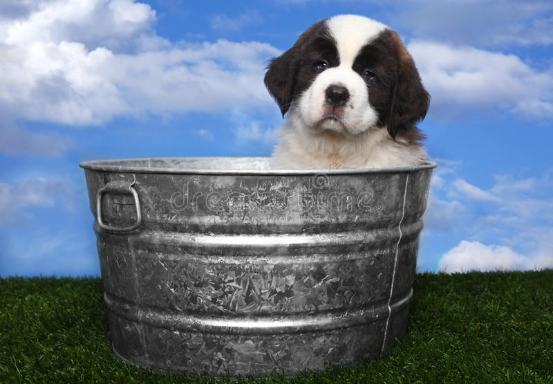 Download Adorable Saint Bernard Pups Stock Photo - Image: 24236110