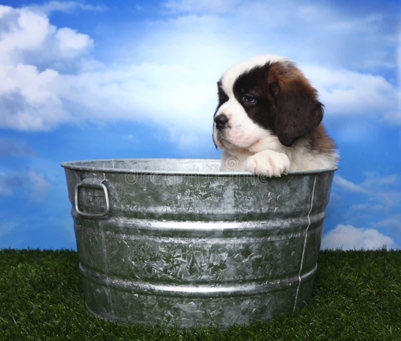 Download Adorable Saint Bernard Pups Stock Image - Image: 24852299