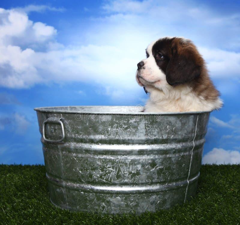 Download Adorable Saint Bernard Pups Stock Image - Image: 26119567
