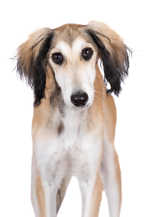 Adorable saluki dog looking into the camera. 5 months old saluki dog puppy stock photos