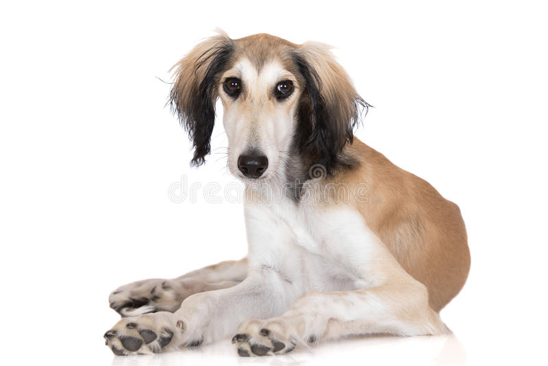 Adorable saluki dog lying down. 5 months old saluki dog puppy stock image