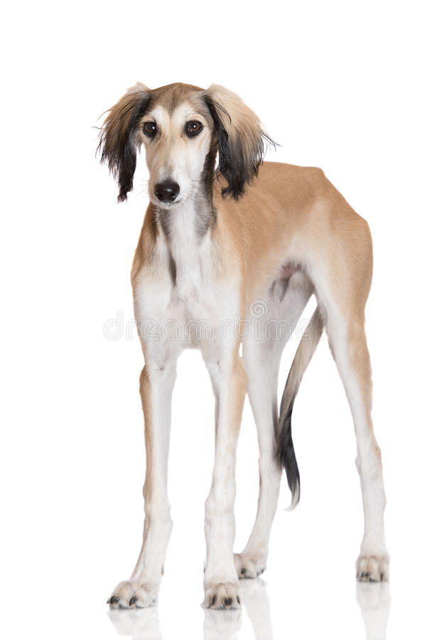 Adorable saluki dog standing on white. 5 months old saluki dog puppy royalty free stock images