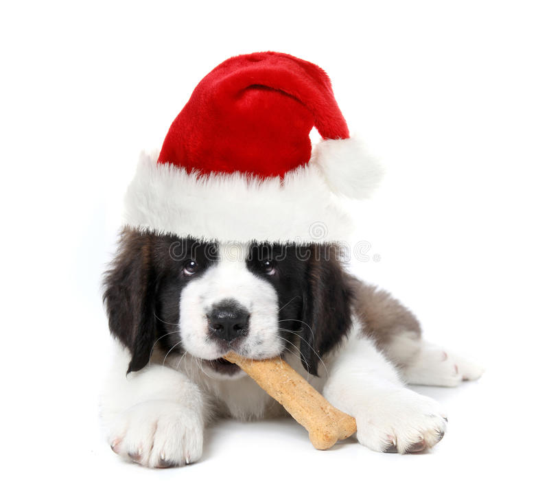Adorable Santa Clause Saint Bernard Puppy royalty free stock image