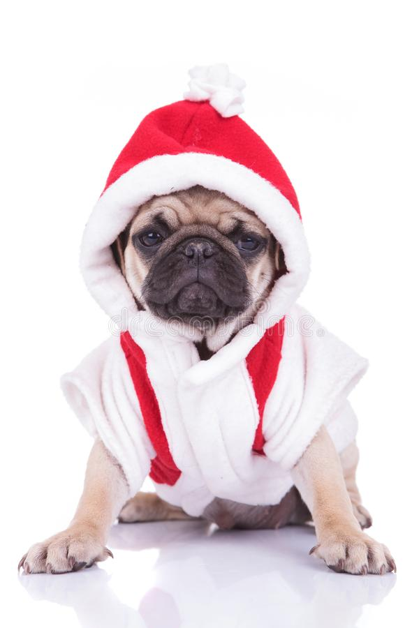 Adorable santa pug puppy is ready for christmas royalty free stock photography