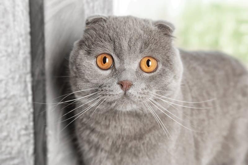 Adorable Scottish fold cat,. Closeup royalty free stock photo